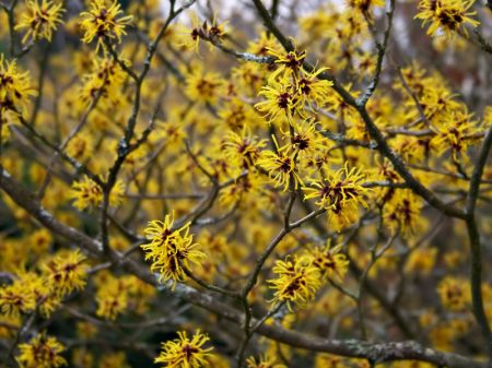 Witch Hazel Natural para las infecciones por levaduras